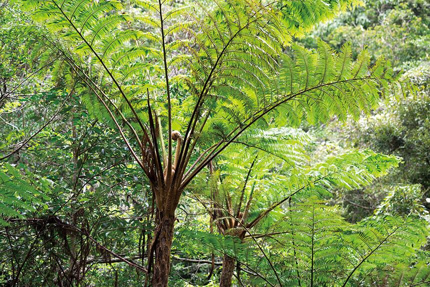 大きなシダ植物