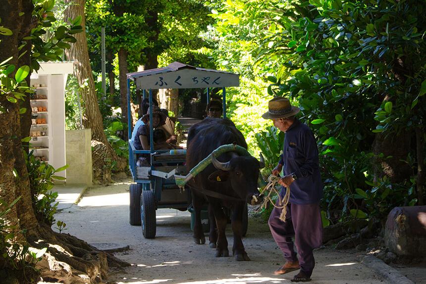 備瀬のフクギ並木を水牛車で散策
