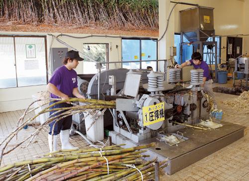 サトウキビを搾る! 収穫されたサトウキビは二連式圧搾機にかけしぼっていきます。