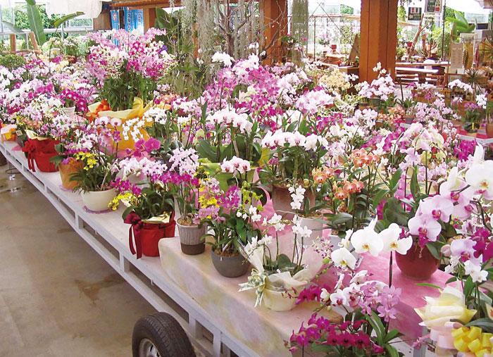 優しい香りで華やぐ気分にしてくれるらんは、ガーデンセンターで販売しているのでお土産や贈り物にもGOOD