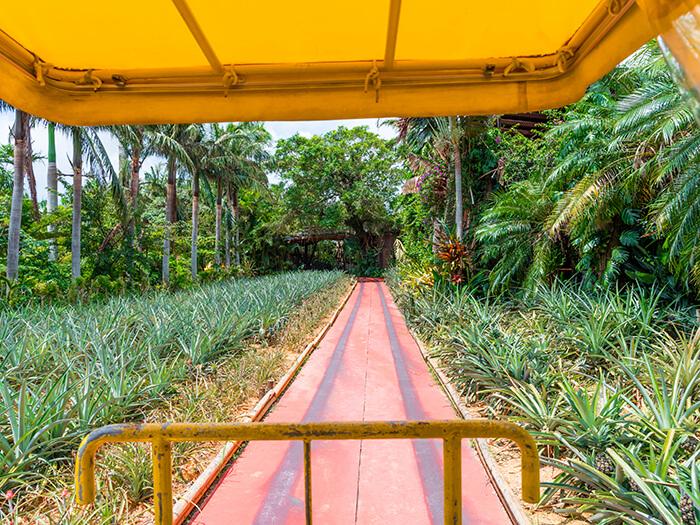 廣大的鳳梨田是散發著香甜氣味的鳳梨樂園