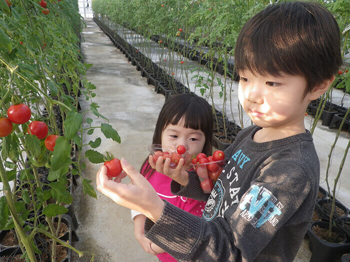 Only available from January to May: tomato-picking experience