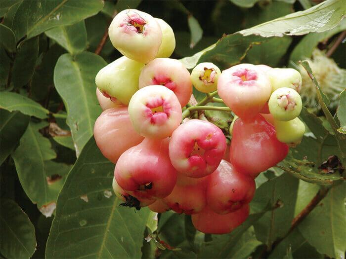 熱帯フルーツ園「フルーツウォッチング」。パイナップルやマンゴーなど熱帯果樹を栽培
