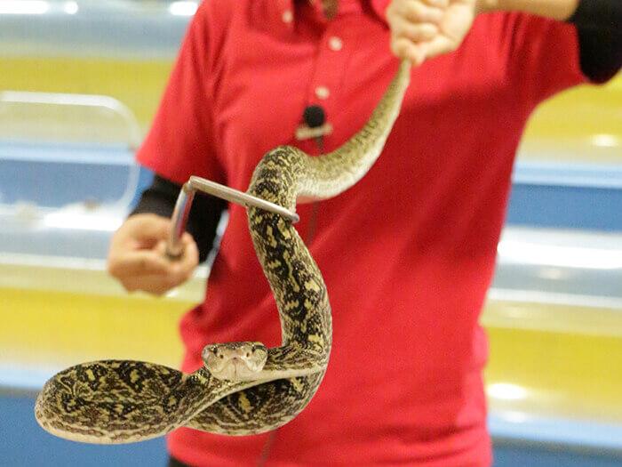 毒蛇表演令人驚顫不已又興奮期待