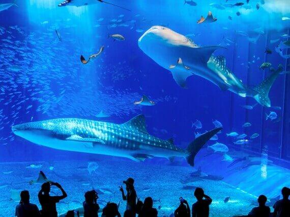 將沖繩海洋一五一十地完整重現的世界最大級水族館。在大水槽中悠然自得地游泳的鯨鯊與鬼蝠魟,其身影頗具震撼力。