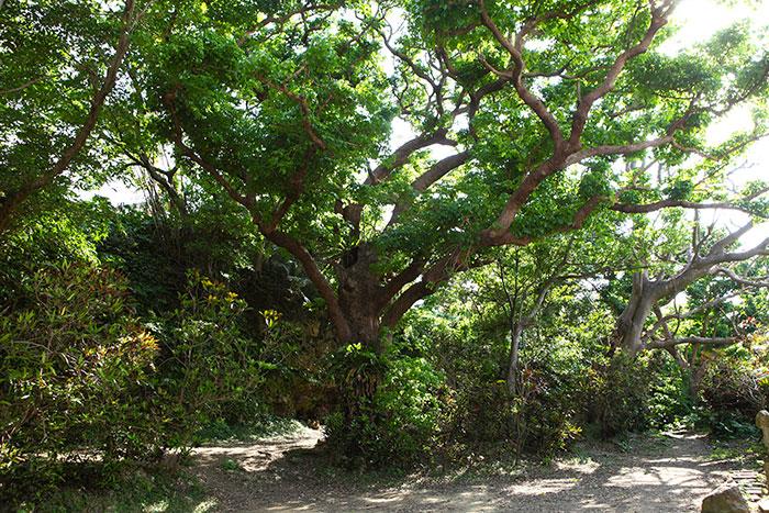 推定樹齢200年。現在、大アカギの保護のため、柵を設置しております。柵の外側からの観覧をお願いします。