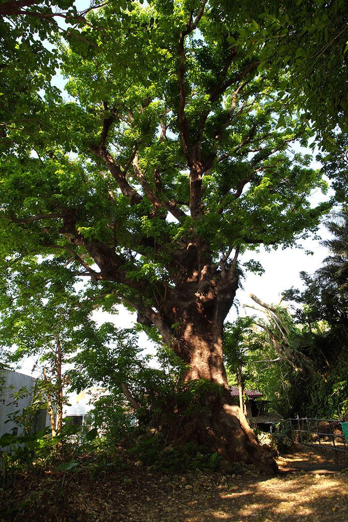 石板路附近的大茄冬樹,在戰火中奇跡般地生存了下來,現今已有200多年的樹齡了。這裡還是個有名的靈驗聖地。
