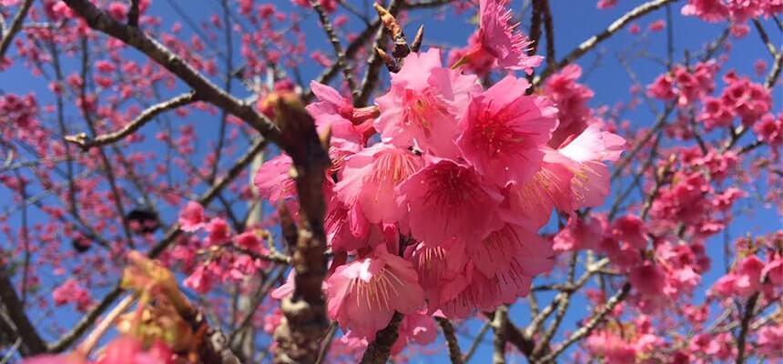 日本最早的賞花時期就在沖繩!