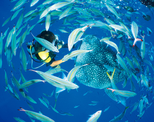 Swim with the largest fish, the whale shark