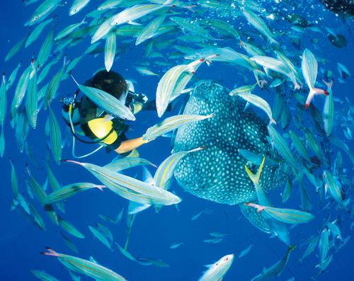 和世界上最大的鯨鲨一起遊樂