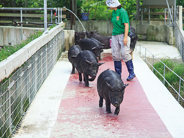 可以在山原島大自然中接觸人見人愛的Agu豬們