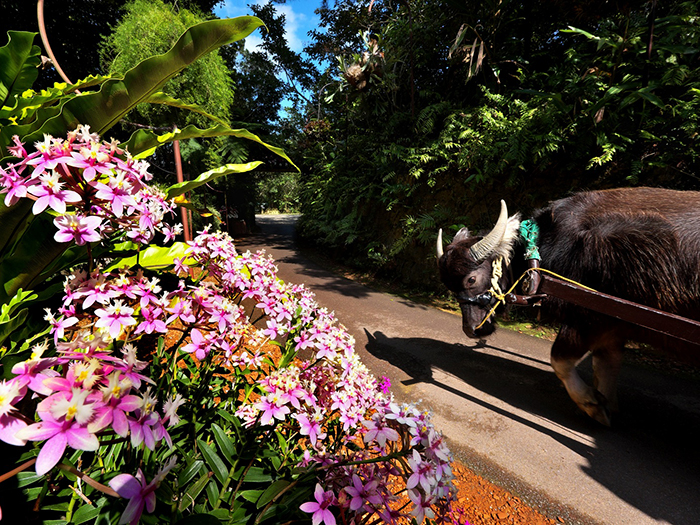 【Hana no suki na ushi (Caw who love flowers)】You can take a leisurely stroll on the colorful orchid alley with a water buffalo cart