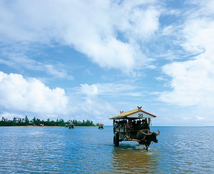 西表島出發約400m乘坐淺瀨的水牛車到由布島。花卉常年盛開整個島便成了亞熱帶植物園。