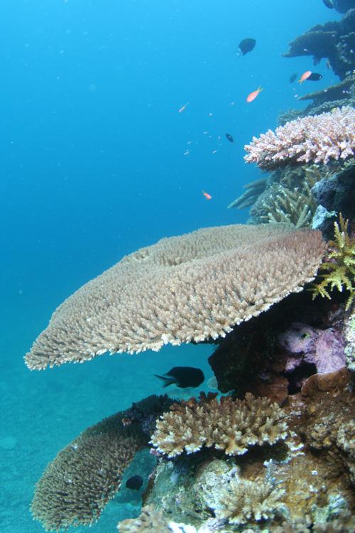 不需潛水也能看到大型珊瑚