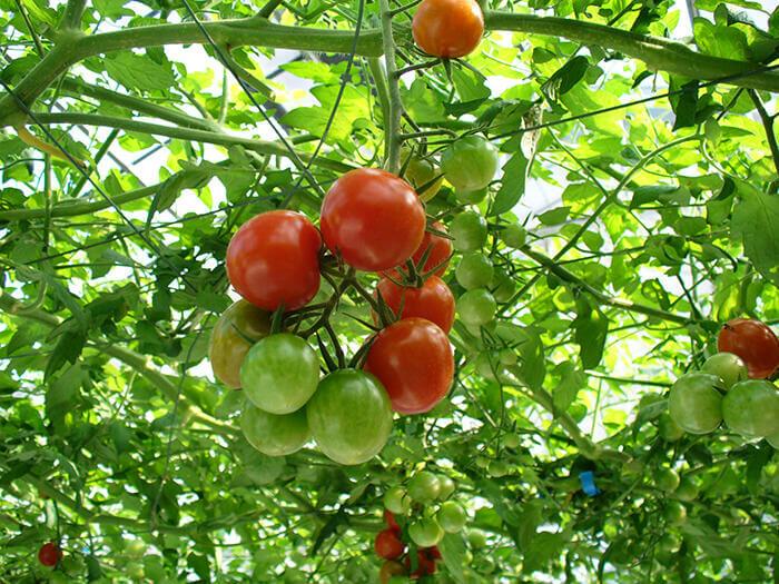 1月到5月期間種了滿滿的番茄
