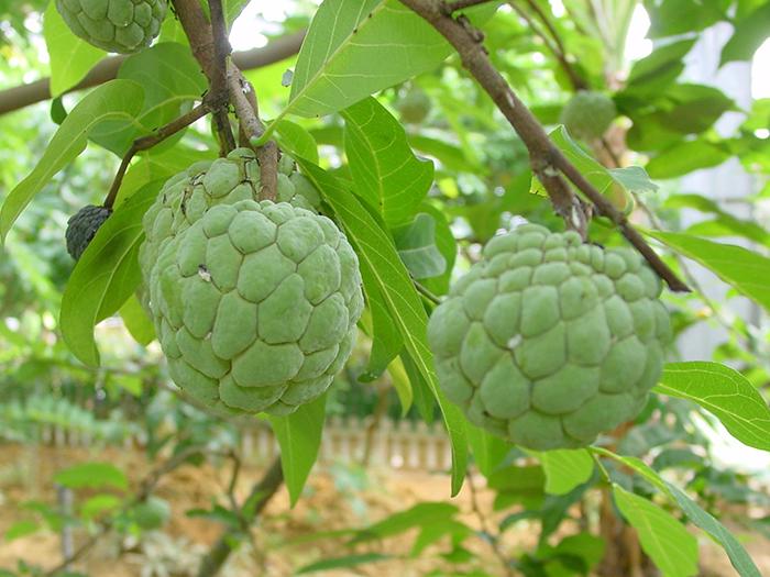 「釋迦」又稱秘魯番荔枝,酸酸甜甜、純白的果實。