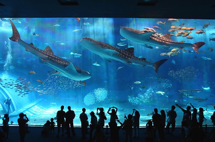 「美之島一日觀光巴士之旅」 在高人氣的沖繩美之海水族館停留兩個半小時,讓您優閒的享受遊玩樂趣