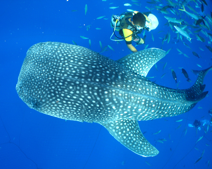 Very exciting! The tour of the Blue Cave and viewing whale sharks.