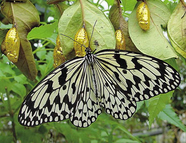 蝴蝶區是日本最大的蝴蝶.可以近距離觀察大白斑蝶。