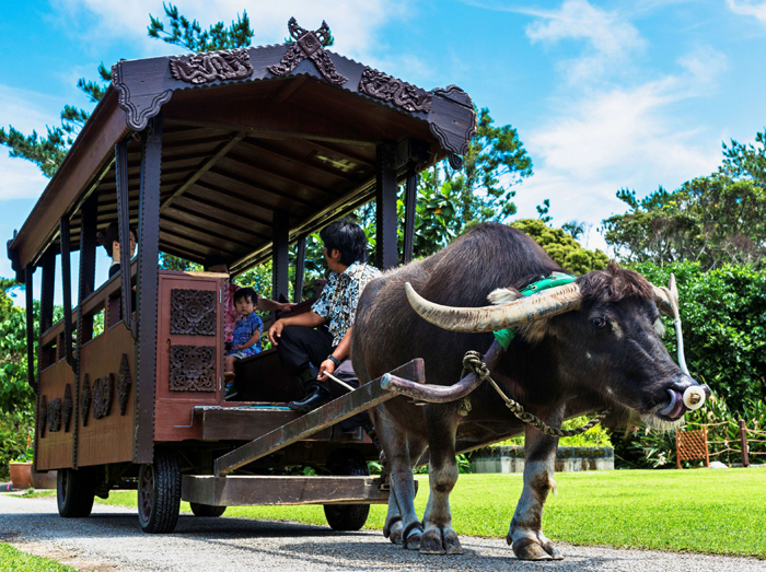 Take a leisurely stroll through the park on a water buffalo cart.