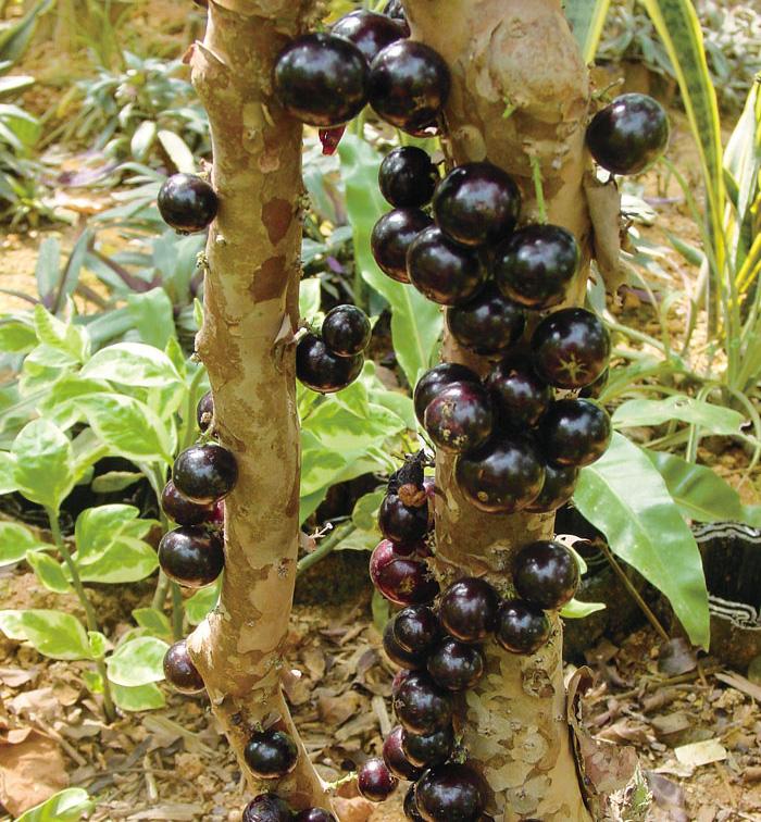 """長在樹幹上的果實罕見的新奇水果""""嘉寶果"""""""