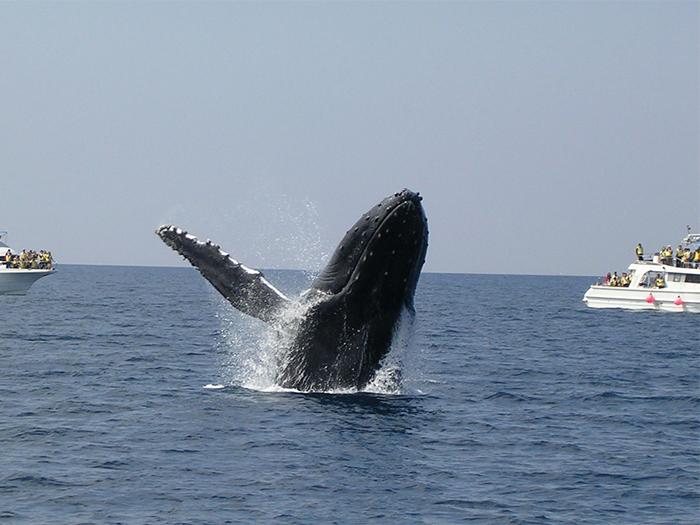 冬季限定!鯨魚觀看