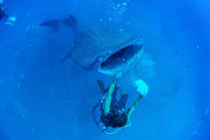 間近で見るジンベエザメは迫力満点!