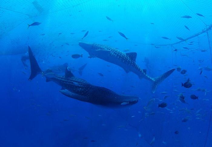水族館ではなく海で泳ぐジンベエザメ