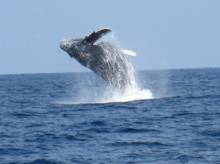 冬の海にやってくるザトウクジラ