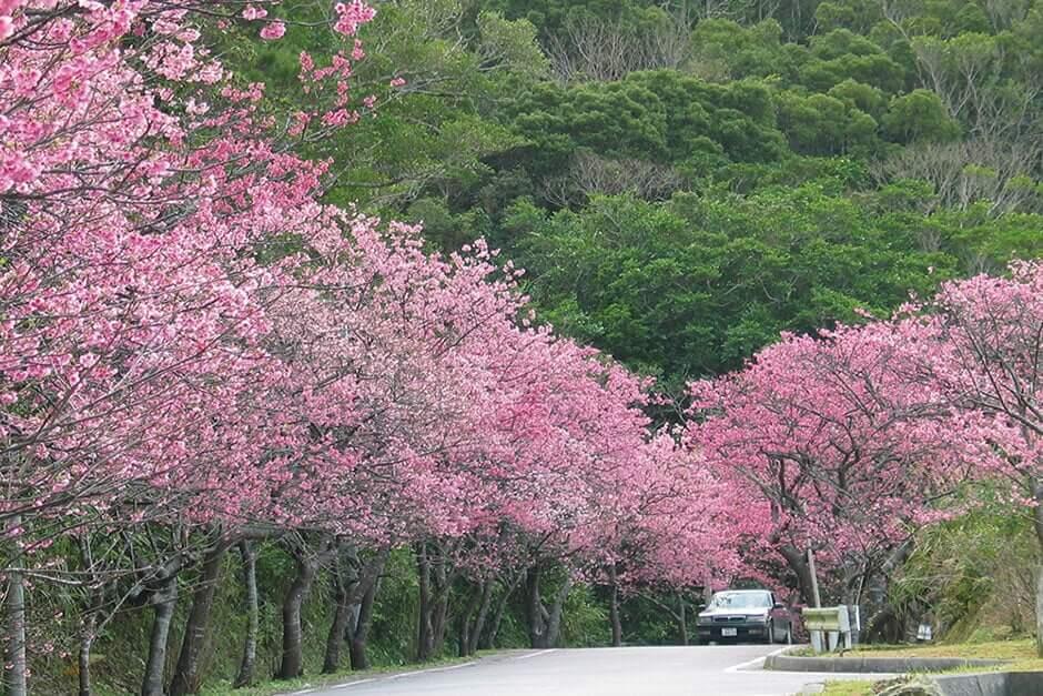 本部八重岳櫻花祭