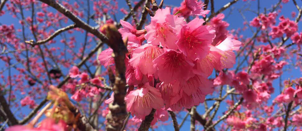 Don't miss the cherry blossoms in full bloom! Check out our top six places for cherry blossom viewing in Okinawa