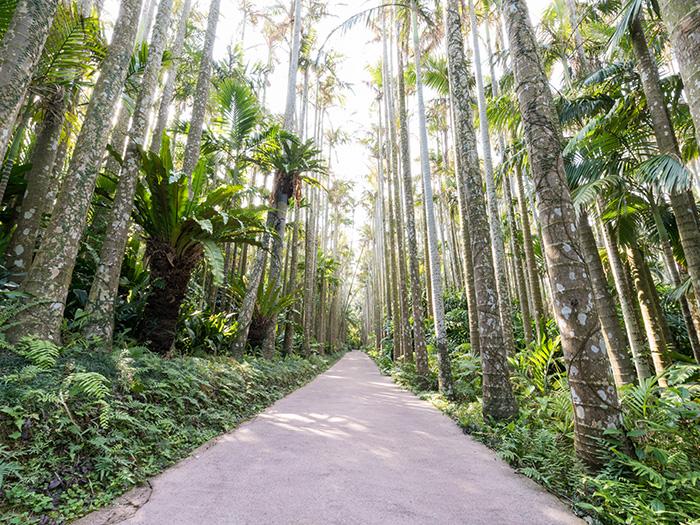 日本最大級のユスラヤシ並木。