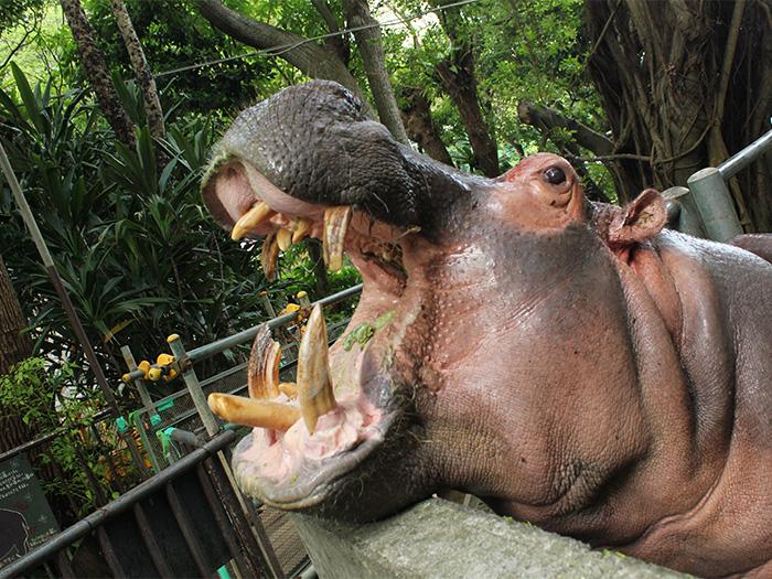 河馬進餐的時間是10:30,河馬張大口吃飯的景象,讓人印象深刻。