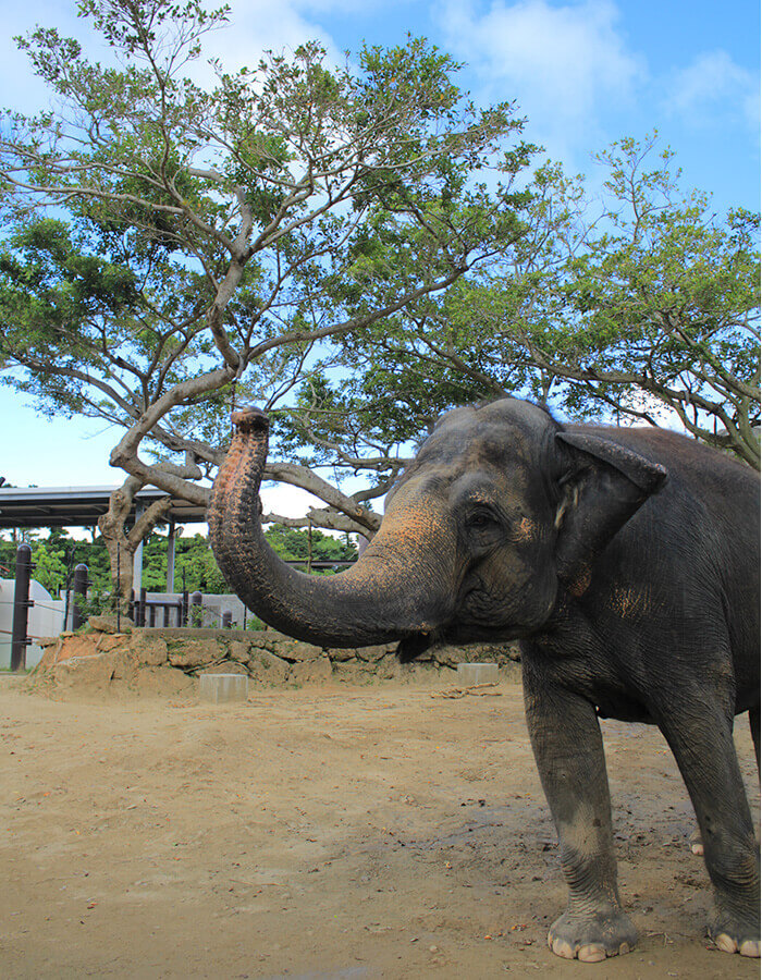 Elephants from India. The male elephant is called