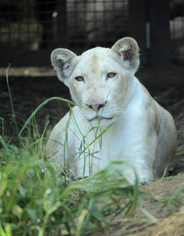 2019年1月從東北SAFARIPARK引進的白獅「RHYTHM」。