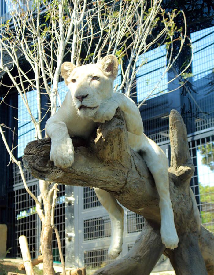 白獅「RHYTHM」最喜歡爬樹了!