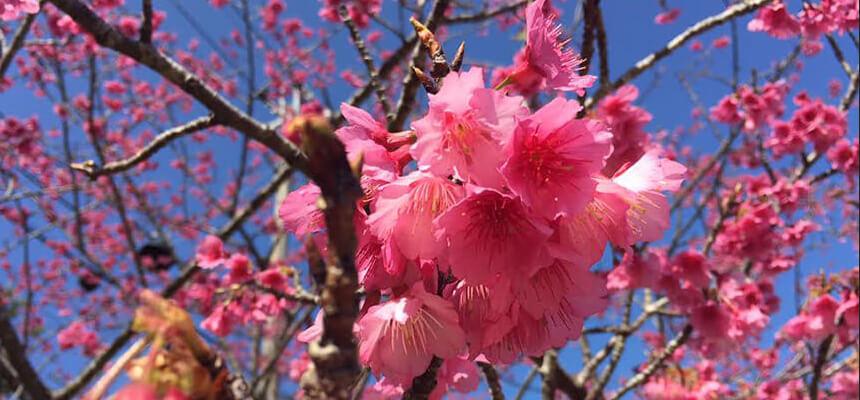 満開を見逃さない!沖縄で桜めぐり6選